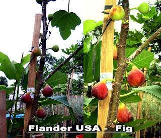Buah Tin FLANDER USA
