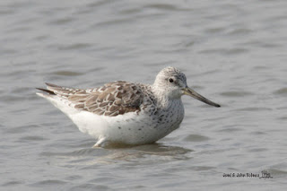 Image of Nordmann's Greenshank  photographed by John & Jemi.