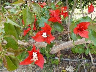 Bougainvillée - Bougainvillier - Bougainvillea spectabilis