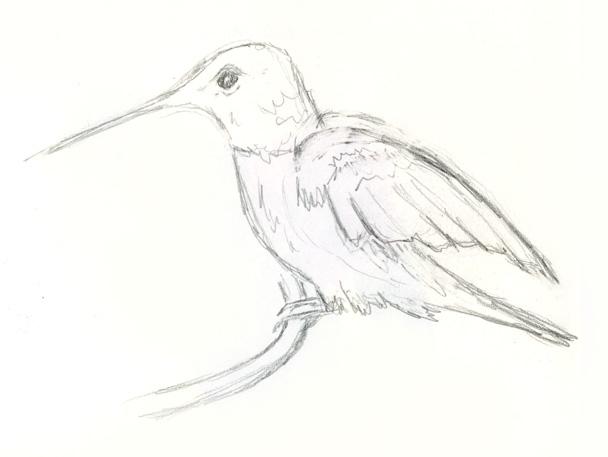 Hummingbird quick pencil sketch