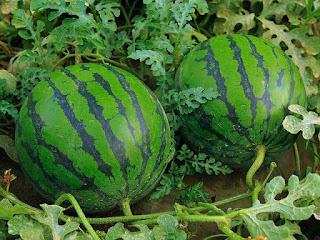 buah-semangka-siap-panen.jpg