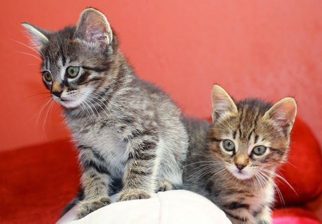 2 cute kittens illustrate a story on the age at which kittens should be neutered