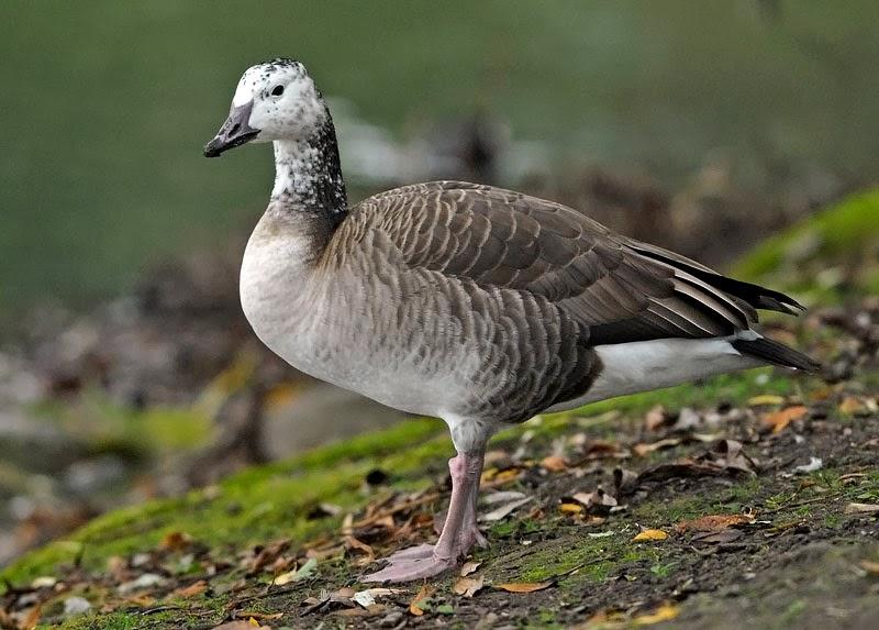 bird hybrids snow goose x canada goose