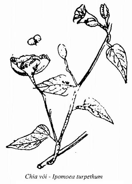 Hình vẽ Cây Chìa Vôi - Ipomoea turpethum - Nguyên liệu làm thuốc Chữa Tê Thấp và Đau Nhức