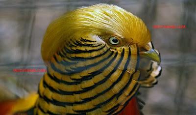 harga golden pheasant