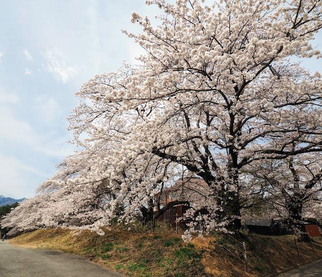 清春芸術村 桜