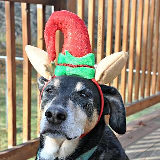 rescued senior hound dog with christmas elf hat