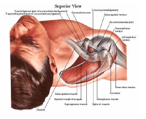 mușchii umărului coxartroza preparatelor genunchiului