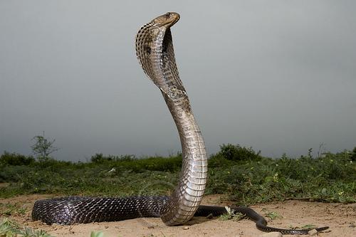 King Snake Hd Pictures Fantastic Snake Wallpaper: King Cobra Snakes Latest Hd Picture/Wallpapers 2013
