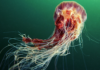 Immortal Jellyfish Arewa24