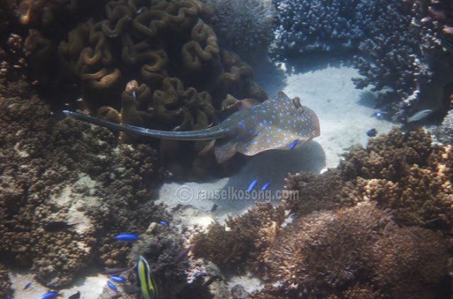 Bluespotted Stingray, Pink beach, Soft Coral, blue Dot Sting Ray, Clown Fish, Labuan Bajo, Flores, Komodo, Rinca, Manggarai, Manta Point