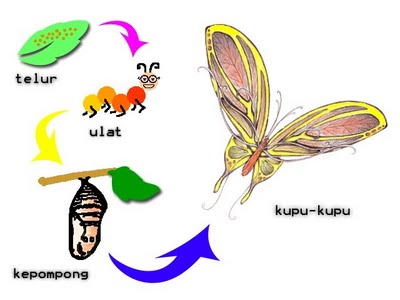 berapa lama metamorfosis kupu kupu