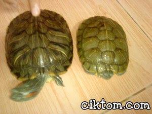 Kura-kura Diego dan Dora