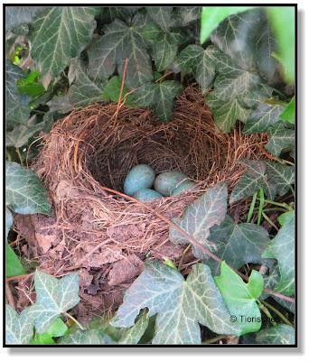Nest einer Amsel mit vier Eiern