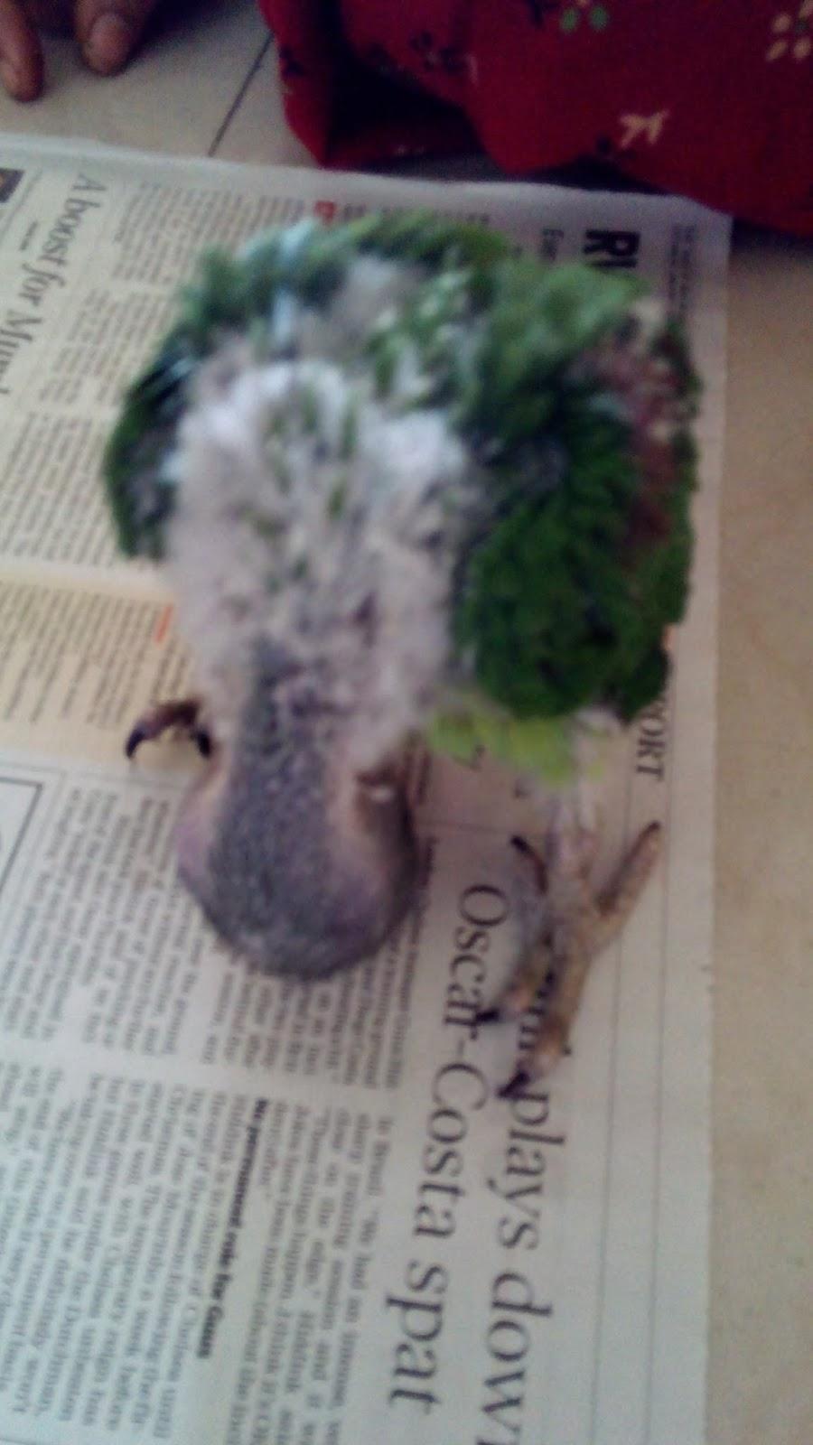 Baby Alexandrine Parakeet Food