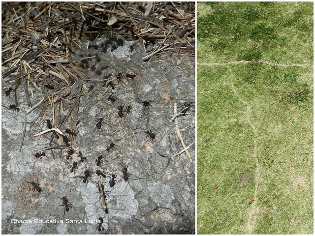 Hormigas y camino de hormigas - Chacra Educativa Santa Lucía