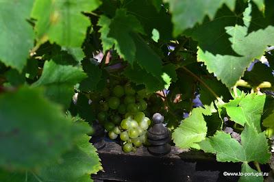 португальский виноград