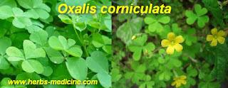 Hepatitis treatment use Oxalis corniculata