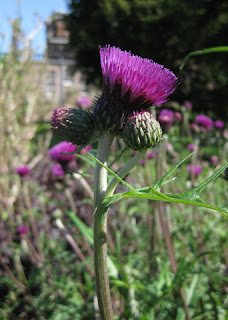 Blooming thistle, Drumlanrig Castle garden, Scotland