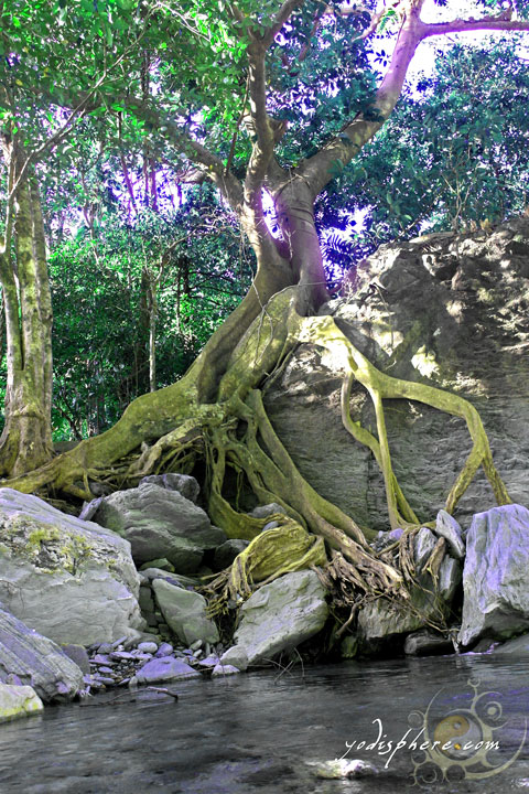 Old balete tree with its snaking roots going down the river