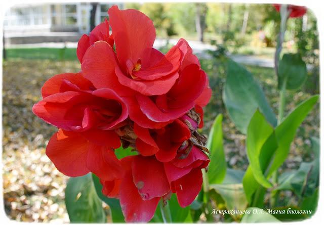 asimmetrichnyj-cvetok-kanny