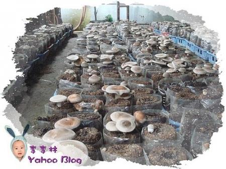 百菇莊|台中新社採菇|假日親子採收樂