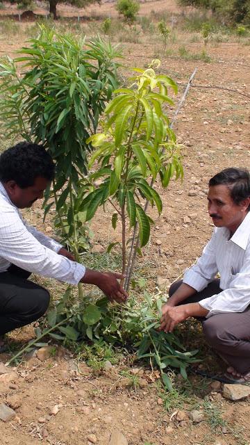 Mulching fruit trees