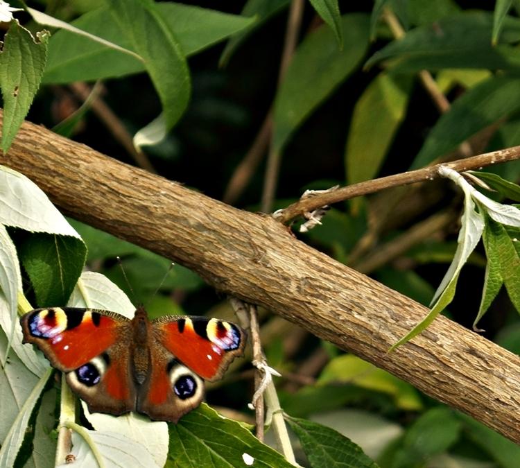 Blog - Fotografie by it's me! - Schmetterling Pfauenauge auf einem abgebrochenen Ast vom Sommerflieder