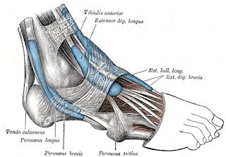 extensor digitorum longus muscle, anatomy, muscle picture