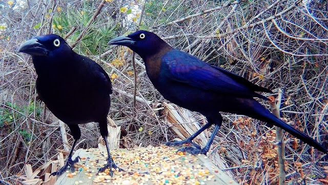 Grackles Up-Close in 4K UHD