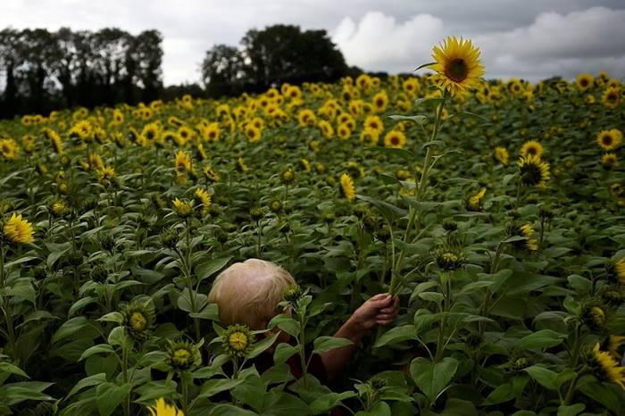Woman lost on the field with sunflowers. Northern Ireland, August 12th. Posted by: Claudag Kilcoin