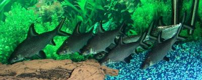 Balashark ikan hias air tawar
