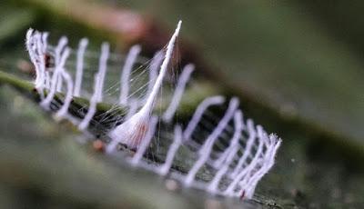 Laba-Laba Ini Membuat Struktur Silkhenge Sebagai Sarang