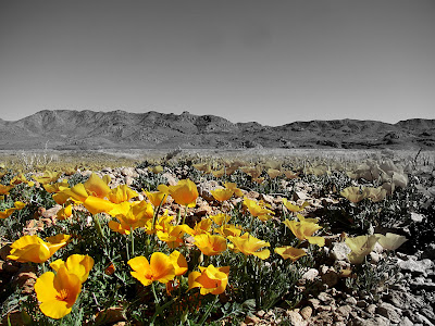 poppies in new mexico