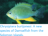 http://sciencythoughts.blogspot.co.uk/2018/02/chrysiptera-burtjonesi-new-species-of.html