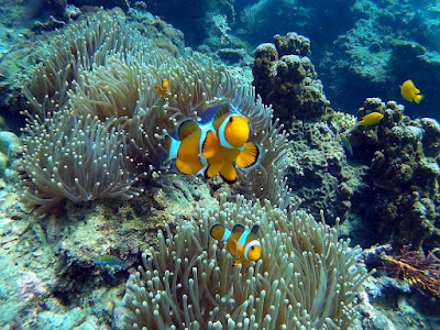 Photo of an anemonefish, clownfish or nemo on Koh Phi Phi Lee