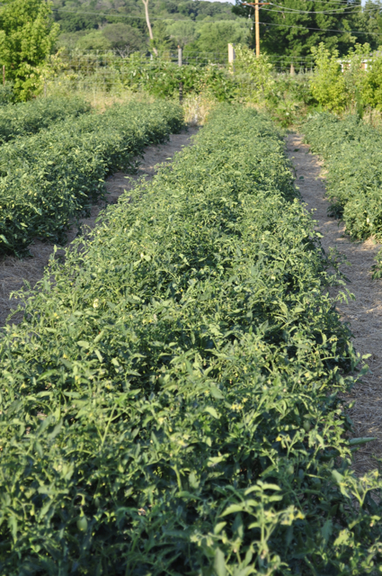 Bush type determinate tomatoes