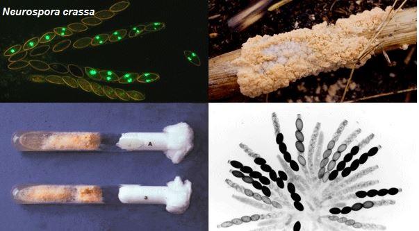 Jamur Ascomycota: Struktur Tubuh, Reproduksi dan Contohnya ...