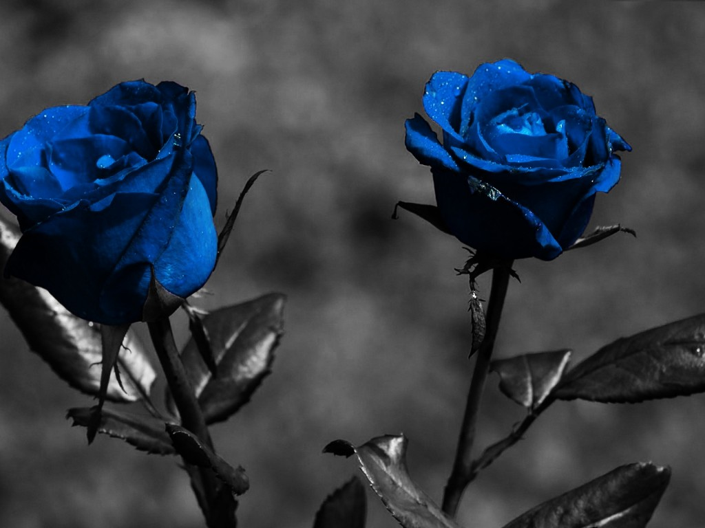Animated Blue Roses – images free download
