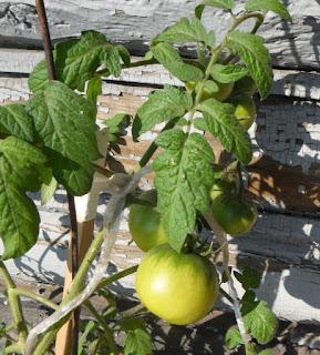 7 июня, помидор в вазоне сорт ТОЛСТЫЙ ДЖЕК начинает бланжаветь