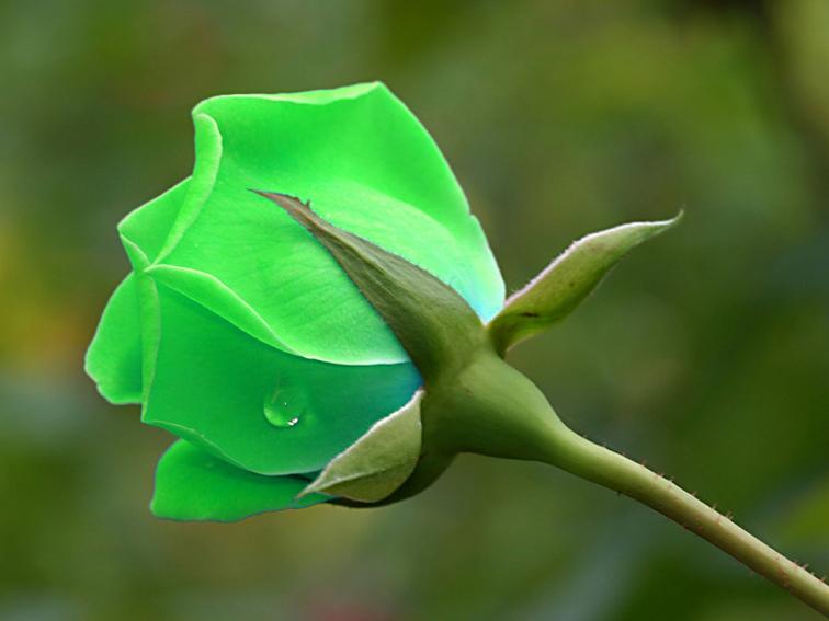 FLOWER SHOP: Green Rose Flower