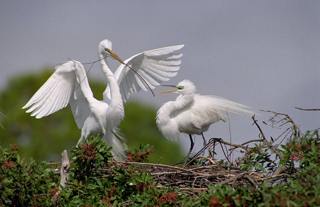 Great Egret - Facts, information and pictures 1