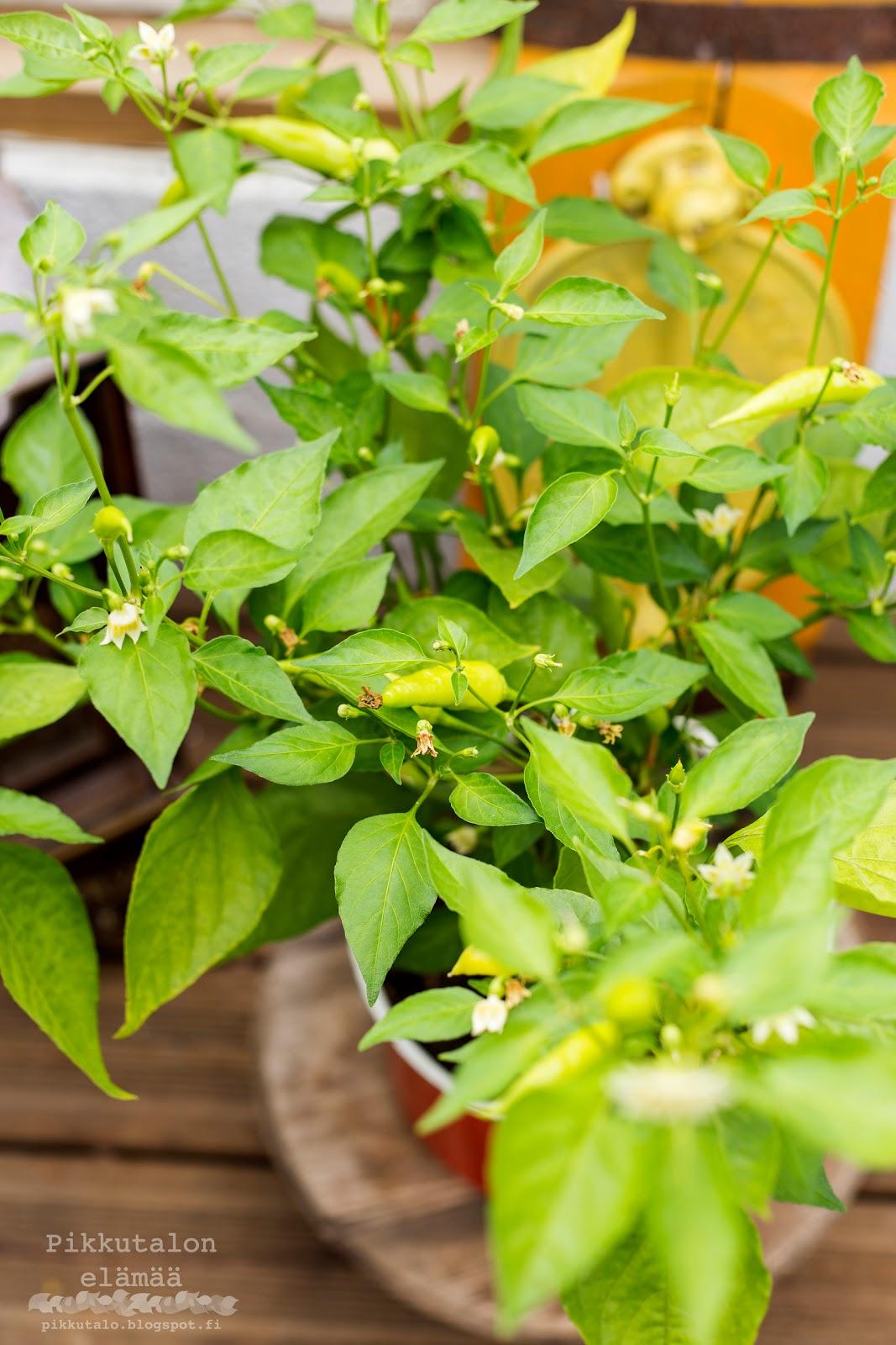 Chilin kasvatus kasvihuoneessa