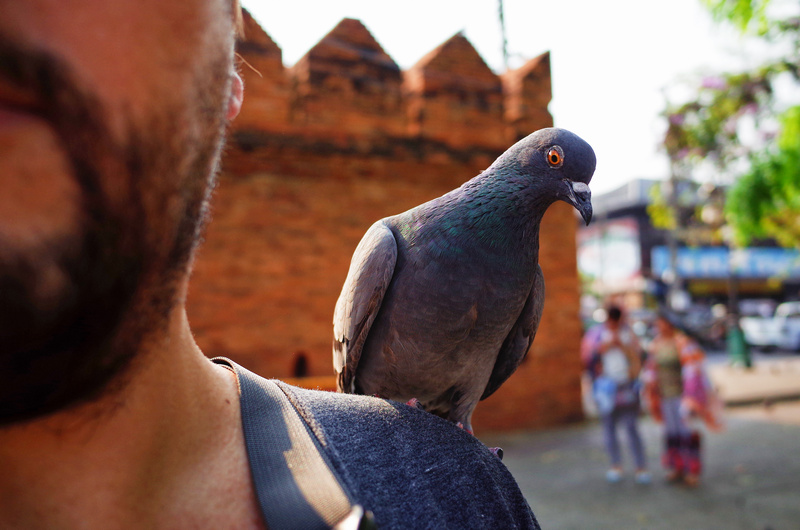 pigeon on shoulder at Thapae Gate