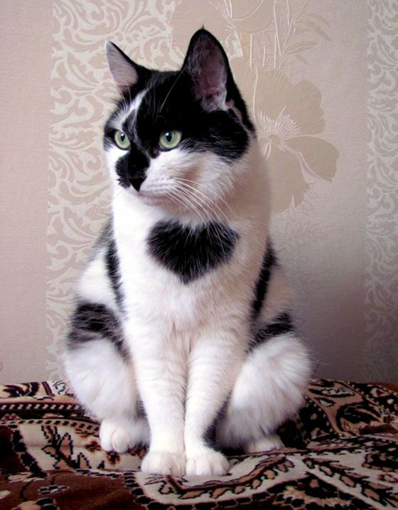 Three Cats Wearing His Heart On his Chest