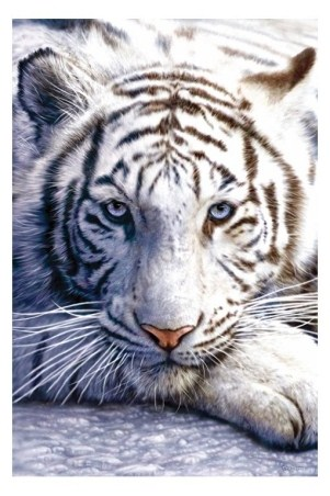 white+tigers+with+blue+eyes+(3)