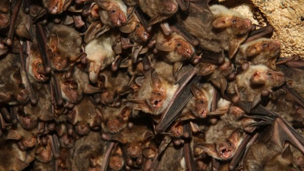 Bats 'tricked' into flying into buildings