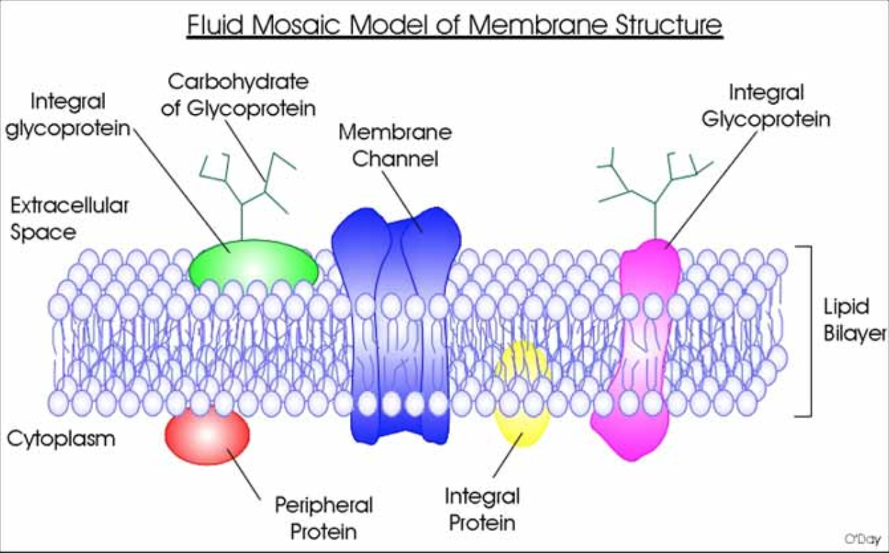 Diagram Of Fluid Mosaic Model Cell Membrane Thetford Toilet Switch Wiring Biology As