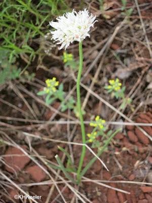 wild onion, Allium sp.