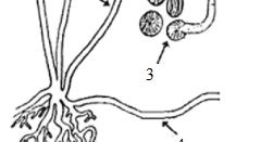 Soal dan pembahasan jamur mikroskopis